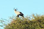 A secretary bird perched on high.