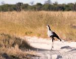 The lanky secretary bird strutting his stuff.